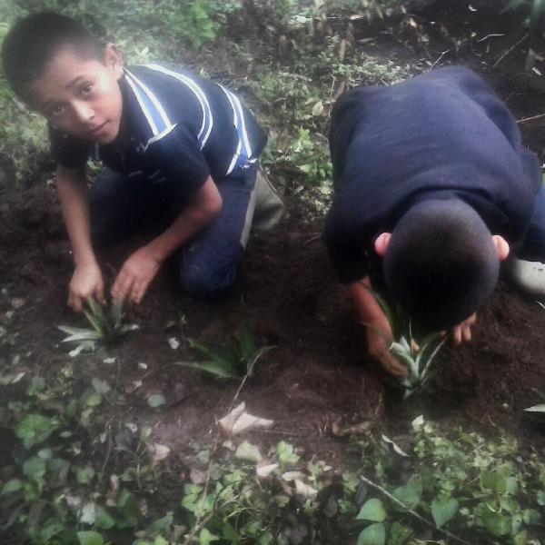 Establecimiento de hijuelos de piña - AACID